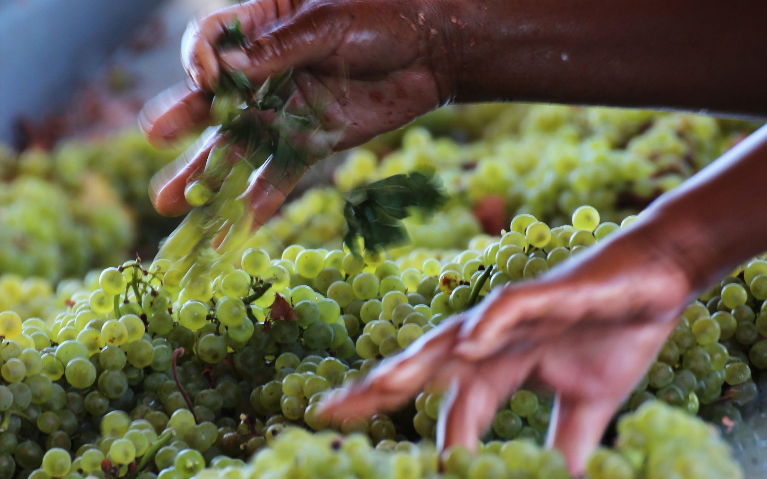 Grape selection, an important production phase for a good wine